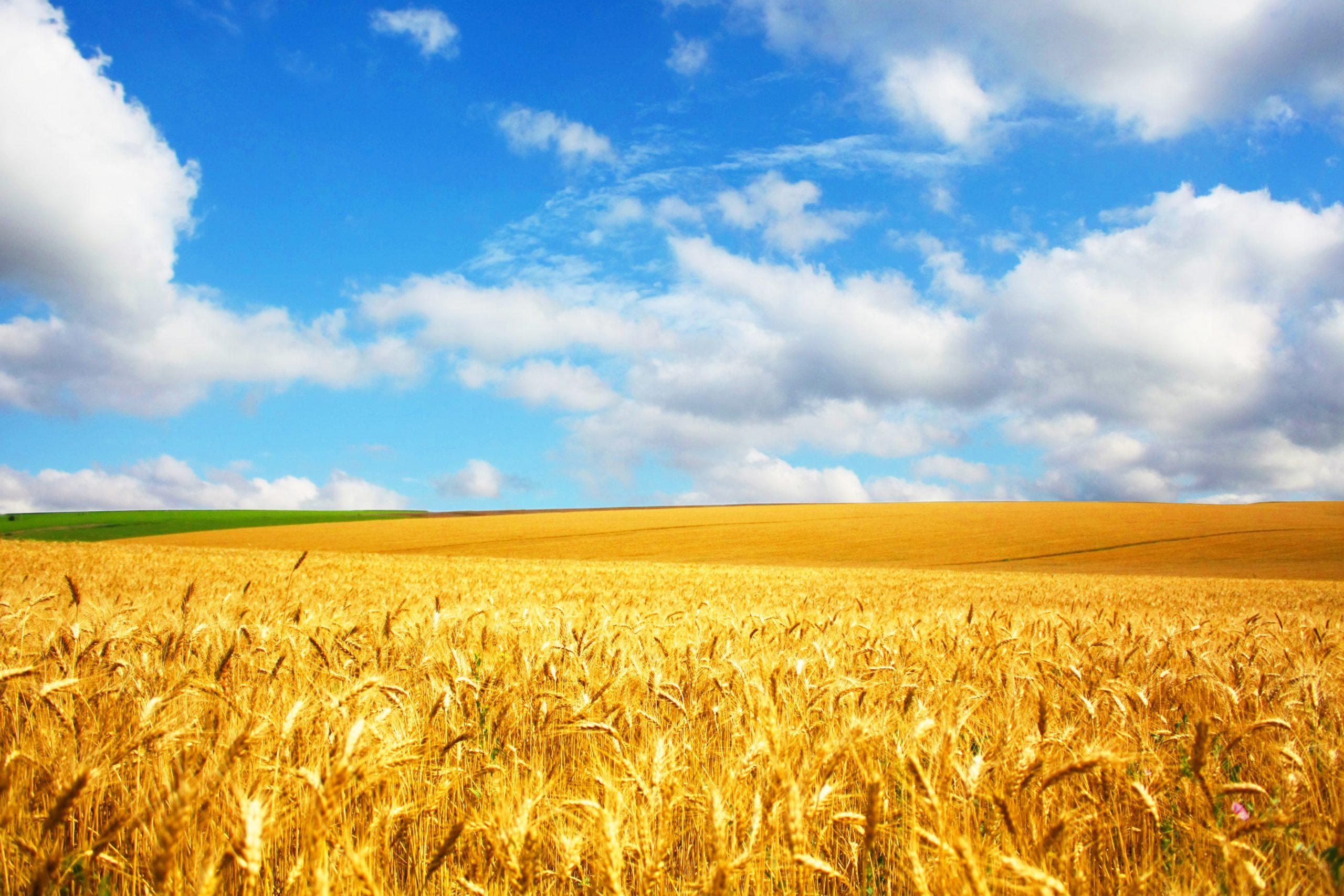 Field of wheat crop